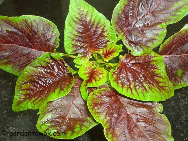 tri-color amaranth (06644)