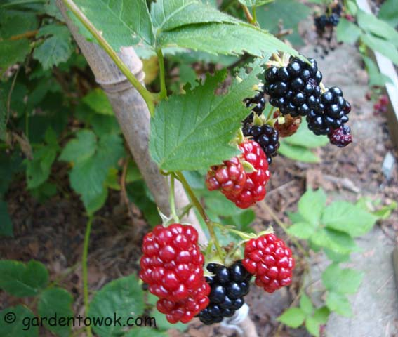 thornless blackberry (06656)