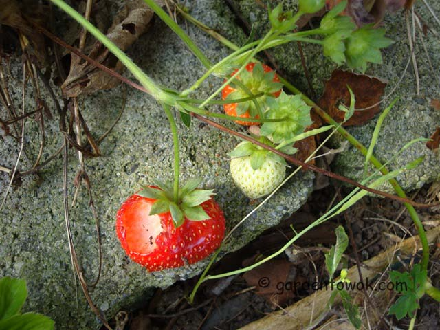strawberries (06657)