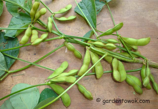 black soy beans (06664)