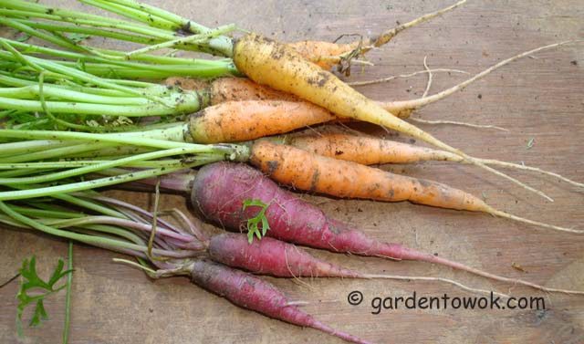 purple & orange carrots (06665)