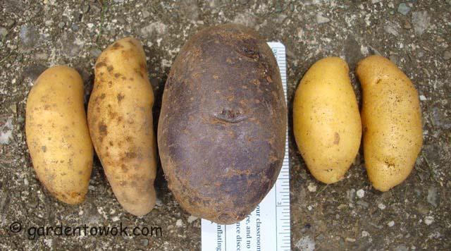 fingerling & blue potatoes (06687)