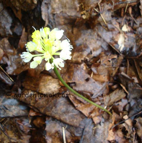 ramp flowers (06538)