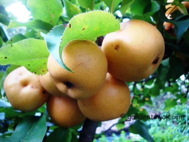 Asian pear06758)