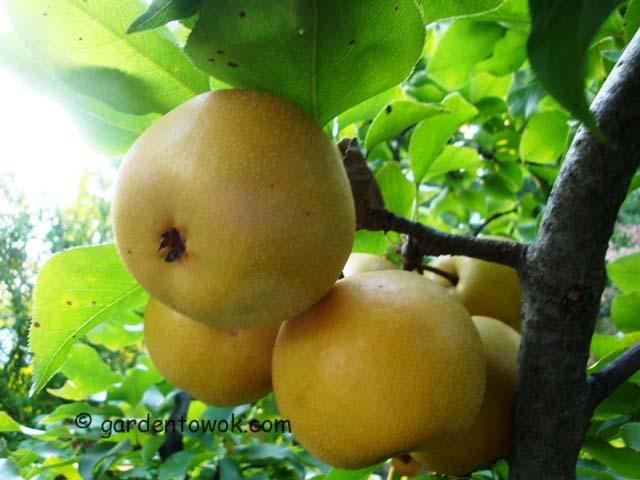 Asian pear06759)