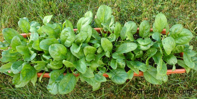 window box spinach (06816)