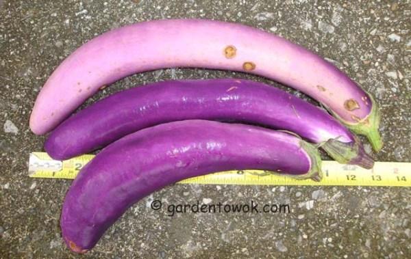 Ping Tung eggplant (06918)