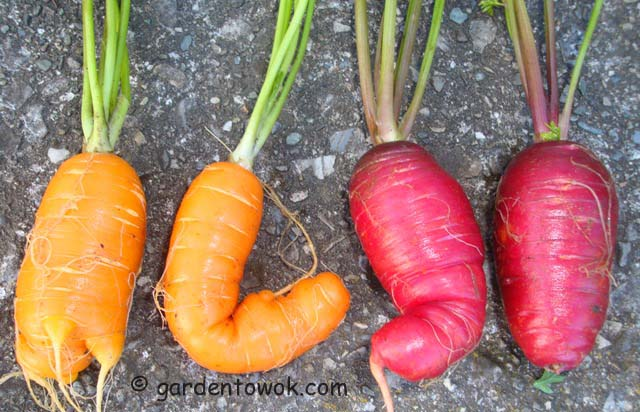 transplanted carrots (07006)