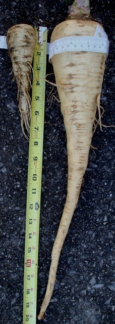 hollow crown parsnip (07076)