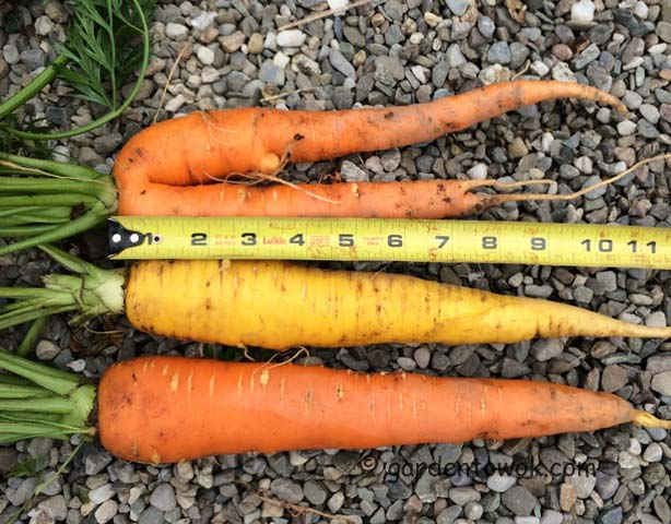 carrot (IMG_0510)