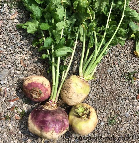 turnips (IMG_0512)