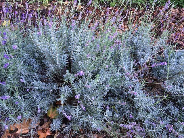 Lavender (IMG_0570)