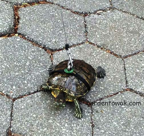 turtle on the sidewalk of NYC (IMG_0221)