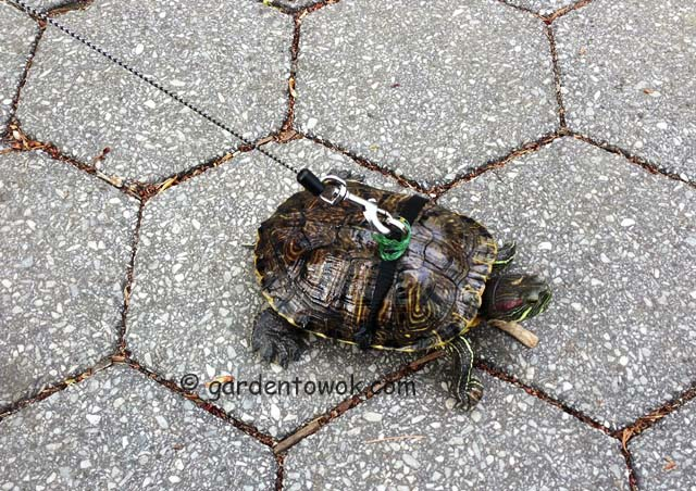 walking turtle (IMG_0223)