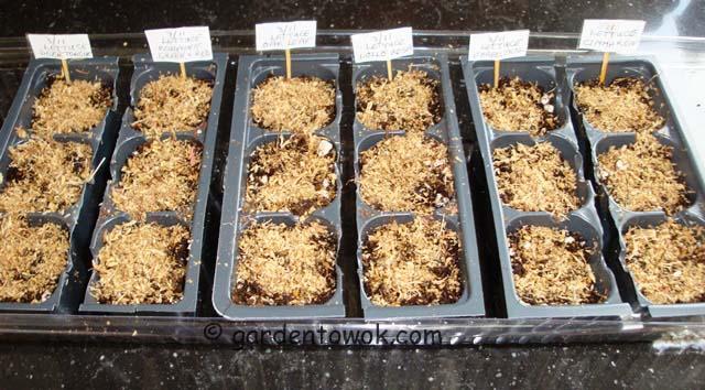 seeding lettuce (07297)
