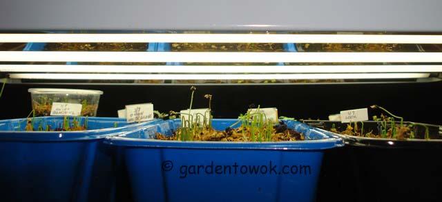 onion seedlings (07326)