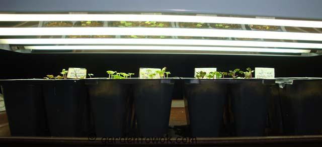seedlings under grow lights (07331)