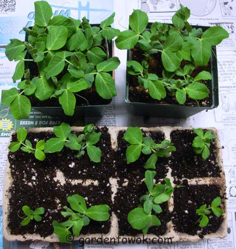 sugar daddy snap pea seedlings (07340)