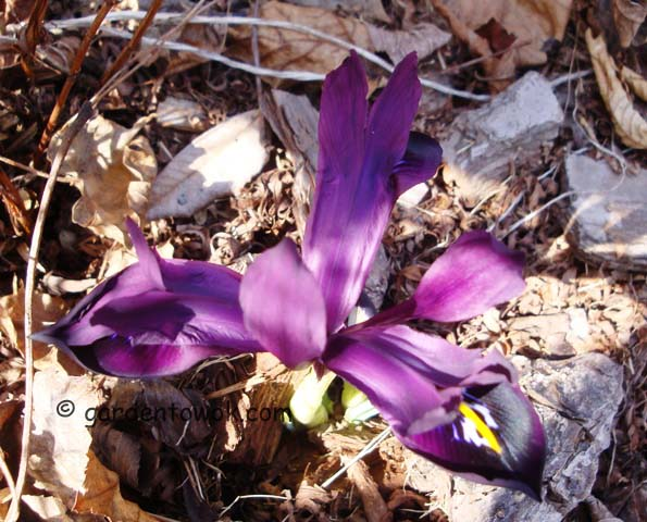 miniature iris (07341)