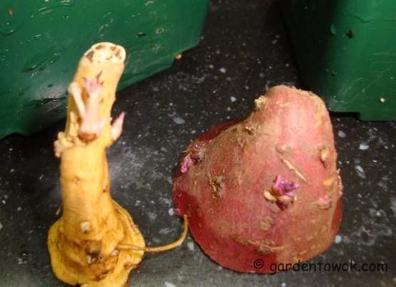 sweet potato slips (07358)