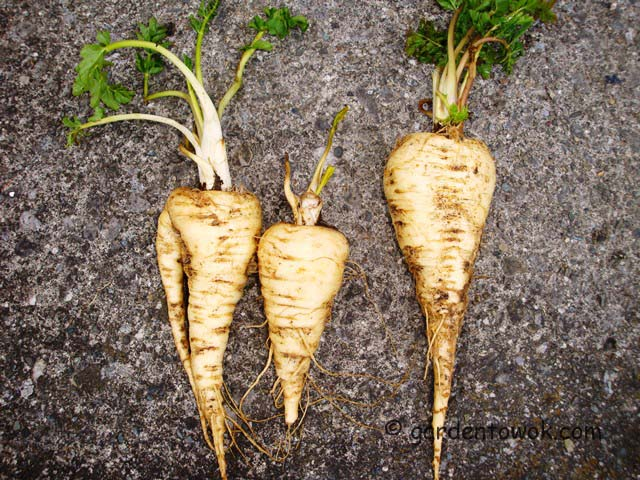 overwintered parsnips (07363)