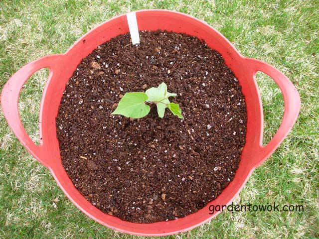 growing purple sweet potato in container (07374)