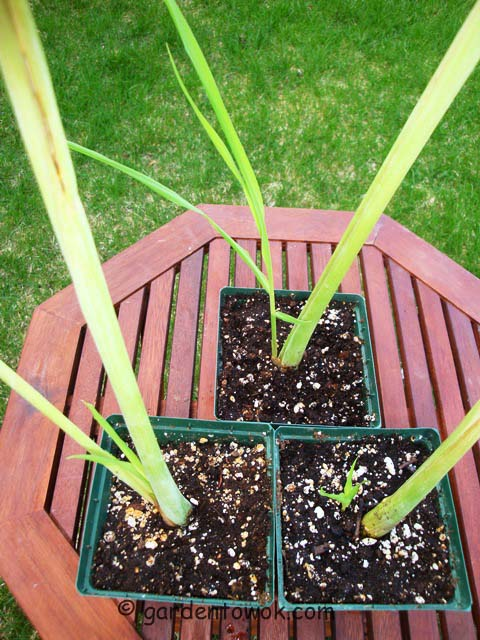 lemongrass (07419)