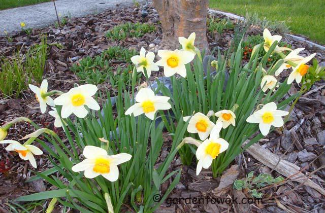 daffodil (07438)