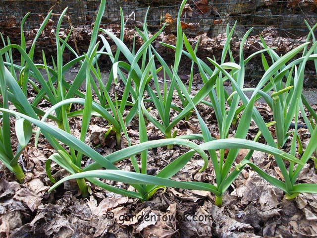 German white garlic (07459)