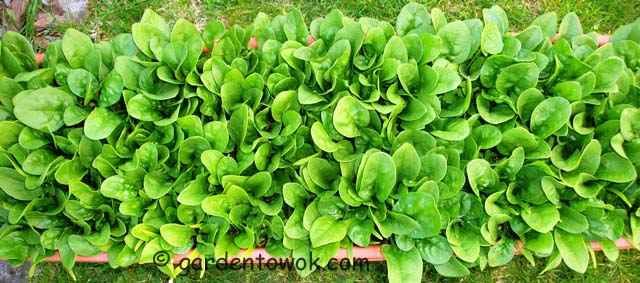 windowbox spinach (07480)