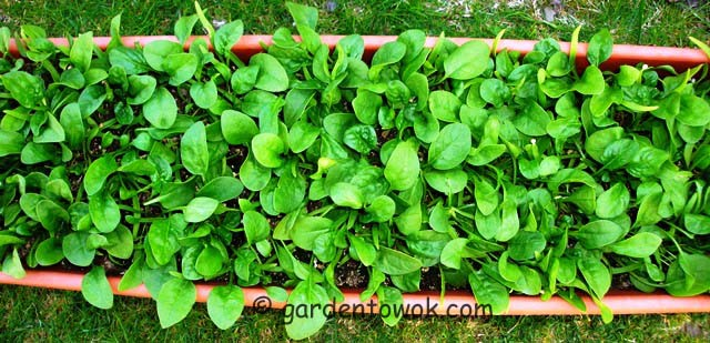 windowbox spinach (07481)