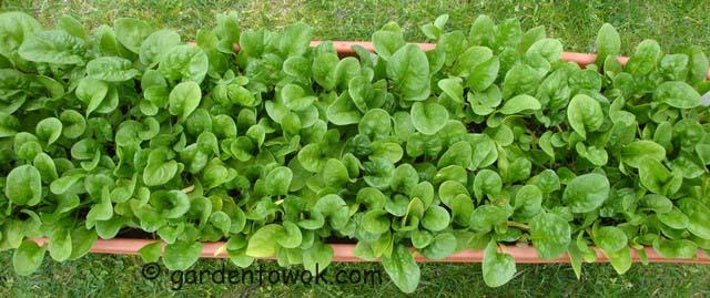 spinach (07498)
