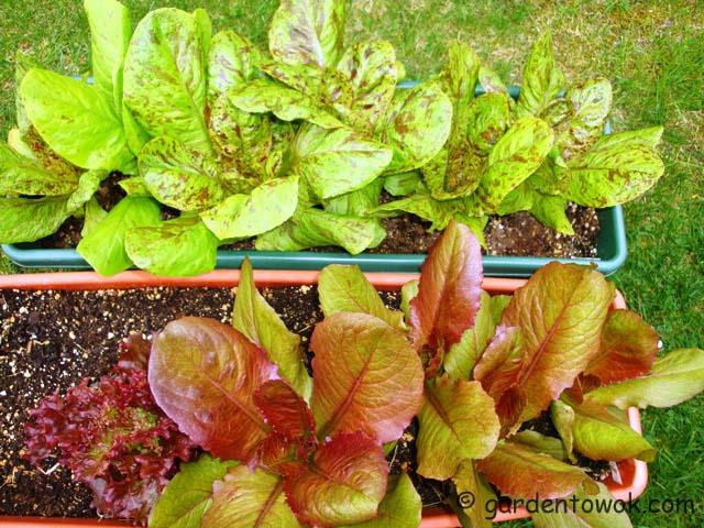 lettuce (07499)