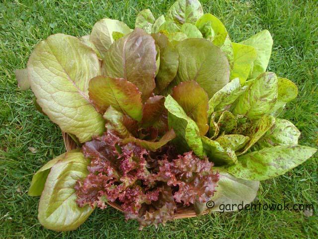 lettuce (07541)