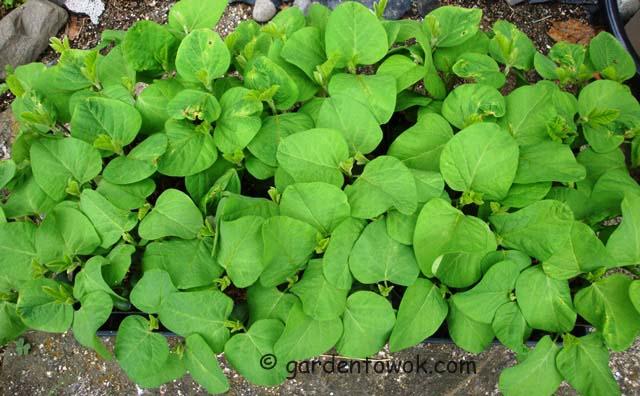 soy beans seedlings (07566)