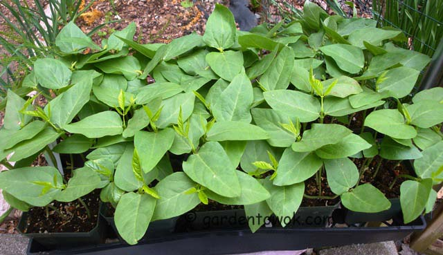 Chinese long beans seedlings (07573)