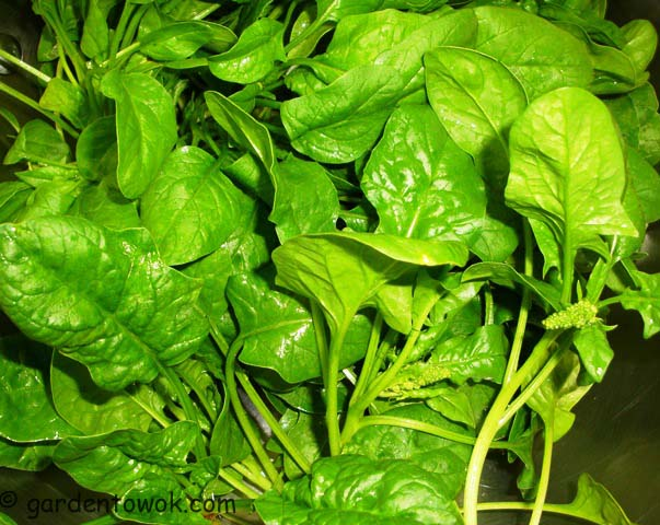 spinach (07588)