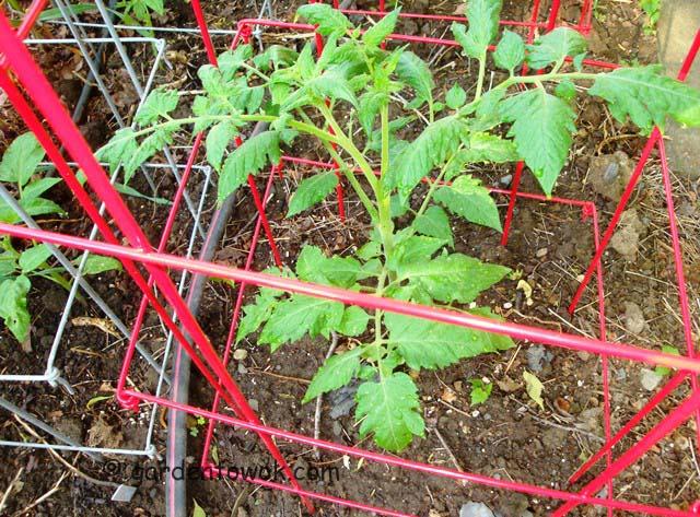 cherry tomato (07677)