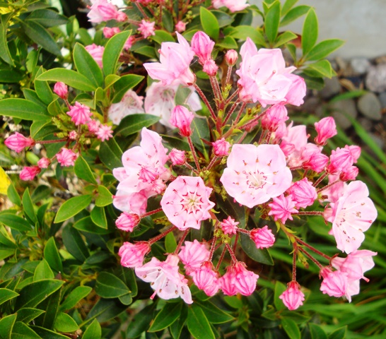 mountain laurel (07689)