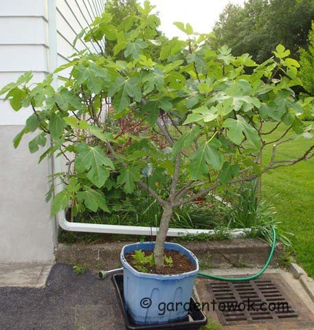 container fig tree (07769)