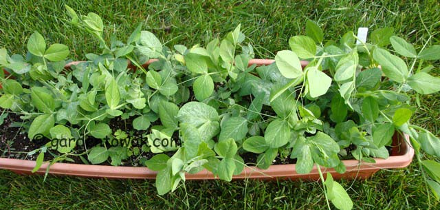 snap peas in window box (07778)
