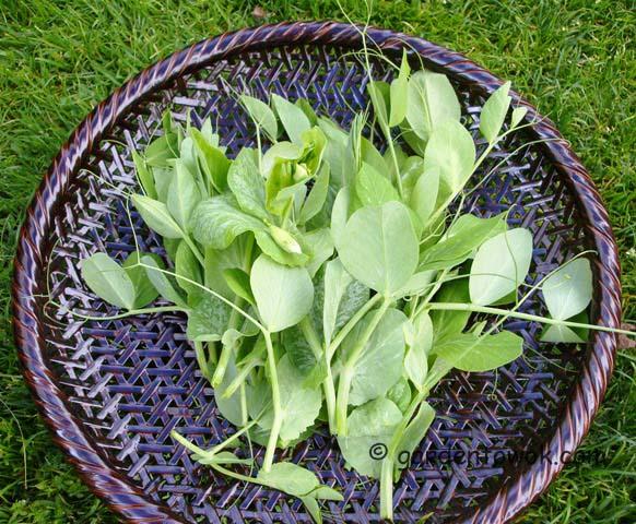 pea shoots (07789)