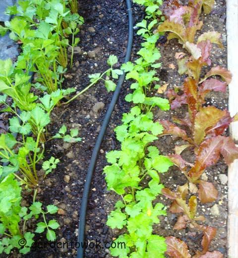 ceeleriac, parsnip & lettuce (07823)