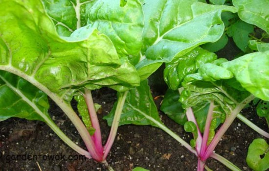 peppermint Swiss chard (07826)