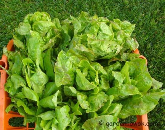 lettuce (07831)