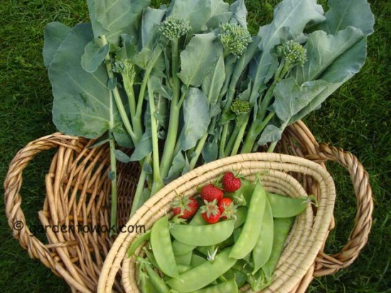 happy rich broccoli, snow peas & strawberries (07842)