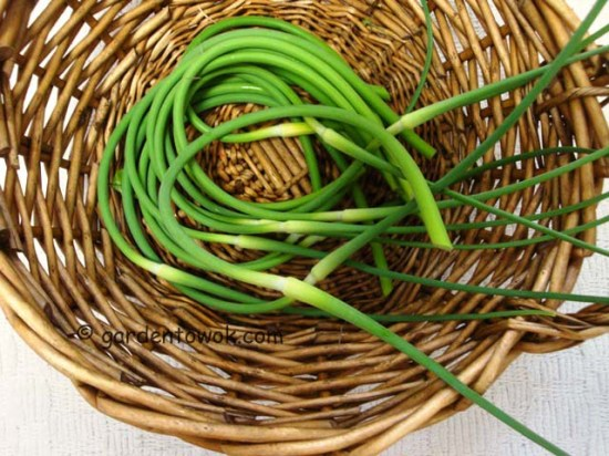 garlic scape (07849)