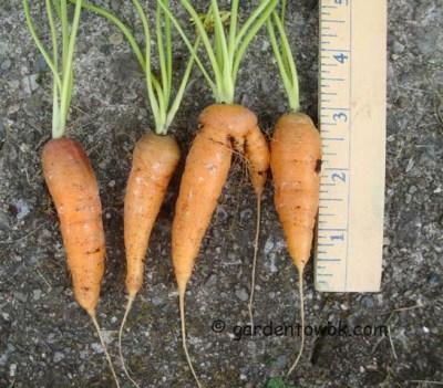 little fingers carrots (07874)