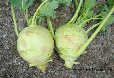early white vienna kohlrabi (07883)