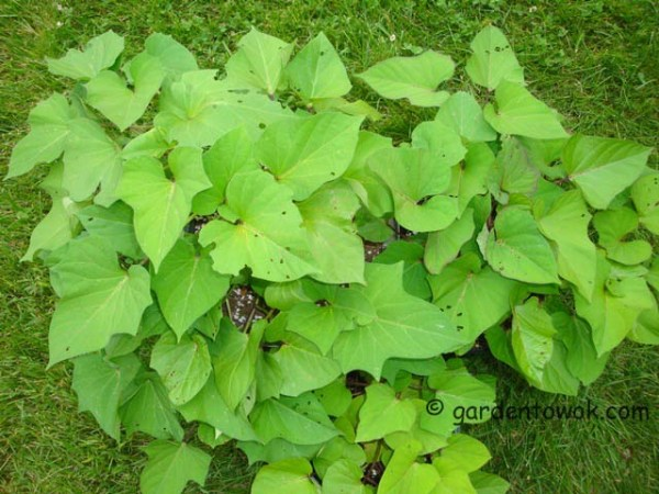 sweet potato vine (07897)